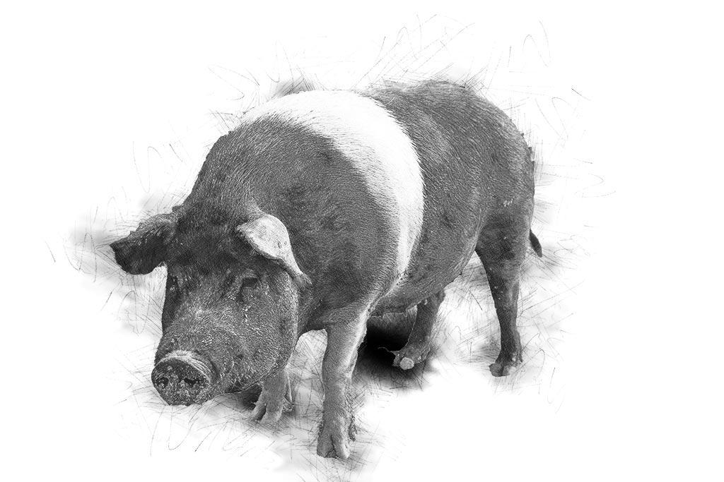 maiale-disegnato2