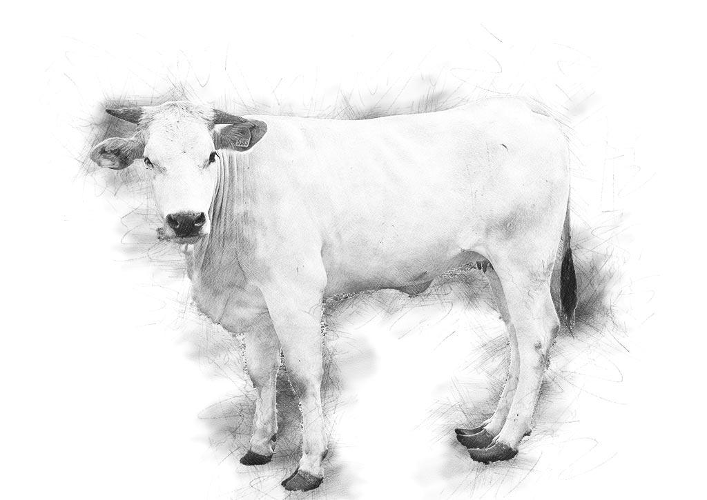 vitello-disegnato